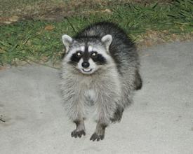 Raccoonlr